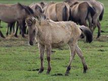 Άγρια γερμανικά άλογα Στοκ εικόνα με δικαίωμα ελεύθερης χρήσης