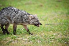 Άγρια γκρίζα αλεπού στη χλόη Στοκ Εικόνες