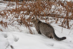 Άγρια γκρίζα γάτα στο χιόνι Στοκ φωτογραφίες με δικαίωμα ελεύθερης χρήσης