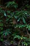 Άγρια δέντρα μπανανών στο δάσος στοκ φωτογραφία