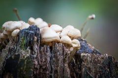 Άγρια δασικά μανιτάρια που αυξάνονται το φθινόπωρο Στοκ εικόνα με δικαίωμα ελεύθερης χρήσης
