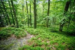 Άγρια δασική μεσαία λουρίδα Ευρώπη Στοκ εικόνες με δικαίωμα ελεύθερης χρήσης