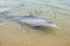 Άγρια δελφίνια στην Αυστραλία δυτικών ακτών mia πιθήκων Στοκ Εικόνες