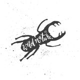 Άγρια εγγραφή φύσης στον κάνθαρο αρσενικών ελαφιών Στοκ φωτογραφία με δικαίωμα ελεύθερης χρήσης