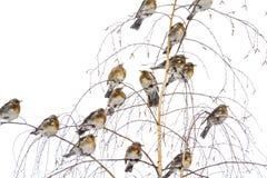 Άγρια εισβολή πουλιών στους χειμερινούς κήπους στοκ φωτογραφίες με δικαίωμα ελεύθερης χρήσης
