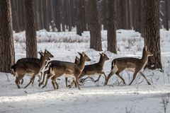 Άγρια ελάφια αυγοτάραχων στο χιονισμένο χειμερινό δάσος, περιοχή Kyiv επιφύλαξης, της Ουκρανίας Στοκ φωτογραφία με δικαίωμα ελεύθερης χρήσης