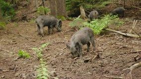 Άγρια ζωή του δασικού κοπαδιού Α των άγριων τροφών χοίρων στο δάσος απόθεμα βίντεο