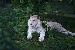 Άγρια ζώα, άγρια φύση, μια τίγρη που στηρίζονται στη χλόη, ένας ζωολογικός κήπος Στοκ φωτογραφίες με δικαίωμα ελεύθερης χρήσης