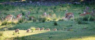 Άγρια ζώα που χαλαρώνουν σε έναν τομέα χλόης Στοκ εικόνα με δικαίωμα ελεύθερης χρήσης