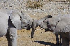 Άγρια ζώα της Αφρικής: παιχνίδι δύο νέο ελεφάντων Στοκ Εικόνες