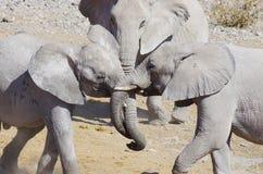 Άγρια ζώα της Αφρικής: παιχνίδι δύο νέο ελεφάντων Στοκ εικόνα με δικαίωμα ελεύθερης χρήσης