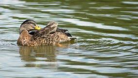 Άγρια θηλυκή πλύση παπιών ο ίδιος στη λίμνη στοκ εικόνες