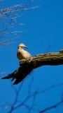 Άγρια θηλυκή συνεδρίαση παπιών στον κλάδο δέντρων Στοκ εικόνα με δικαίωμα ελεύθερης χρήσης