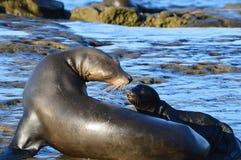 Άγρια λιοντάρι και κουτάβι θάλασσας σχετικά με τις μύτες Στοκ φωτογραφία με δικαίωμα ελεύθερης χρήσης