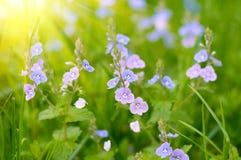 Άγρια ιώδη λουλούδια Στοκ Φωτογραφία