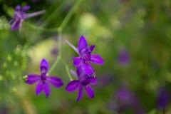 Άγρια ιώδη λουλούδια Consolida Regalis Στοκ Εικόνες