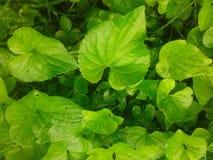 Άγρια ιώδη φύλλα Στοκ Εικόνες