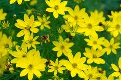 Άγρια κίτρινα chamomile λουλούδια σε έναν τομέα ημέρα ηλιόλουστη Στοκ φωτογραφίες με δικαίωμα ελεύθερης χρήσης