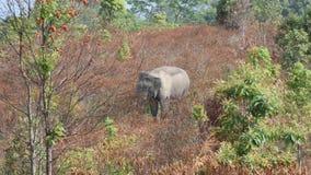 Άγρια κατανάλωση ελεφάντων απόθεμα βίντεο