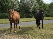 Άγρια καφετιά και μαύρα άλογα στο νέο δάσος Στοκ φωτογραφία με δικαίωμα ελεύθερης χρήσης