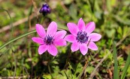 Άγρια κινηματογράφηση σε πρώτο πλάνο λουλουδιών Anemones στο υπόβαθρο φύσης Στοκ Φωτογραφία