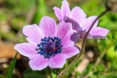 Άγρια κινηματογράφηση σε πρώτο πλάνο λουλουδιών Anemones στο υπόβαθρο φύσης Στοκ φωτογραφία με δικαίωμα ελεύθερης χρήσης