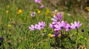 Άγρια κινηματογράφηση σε πρώτο πλάνο λουλουδιών Anemones στο υπόβαθρο φύσης, διάστημα αντιγράφων Στοκ Εικόνες