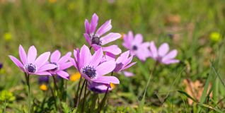 Άγρια κινηματογράφηση σε πρώτο πλάνο λουλουδιών Anemones στο υπόβαθρο φύσης, διάστημα αντιγράφων Στοκ Φωτογραφίες