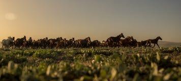 Άγρια κοπάδια αλόγων που τρέχουν στον κάλαμο, kayseri, Τουρκία στοκ φωτογραφίες