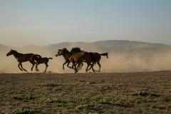 Άγρια κοπάδια αλόγων που τρέχουν στον κάλαμο, kayseri, Τουρκία στοκ φωτογραφίες με δικαίωμα ελεύθερης χρήσης