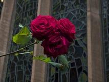 Άγρια κόκκινα τριαντάφυλλα μπροστά από το λεκιασμένο παράθυρο γυαλιού Στοκ εικόνα με δικαίωμα ελεύθερης χρήσης