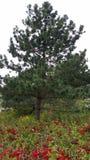 Άγρια κόκκινα τριανταφυλλιά Στοκ εικόνα με δικαίωμα ελεύθερης χρήσης
