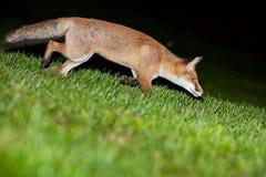 Άγρια κόκκινη αλεπού Στοκ φωτογραφίες με δικαίωμα ελεύθερης χρήσης