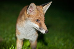 Άγρια κόκκινη αλεπού Στοκ φωτογραφία με δικαίωμα ελεύθερης χρήσης