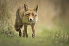 Άγρια κόκκινη αλεπού Στοκ Εικόνες