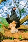 Άγρια κότα με τους νεοσσούς στη Χονολουλού Χαβάη στοκ φωτογραφίες με δικαίωμα ελεύθερης χρήσης