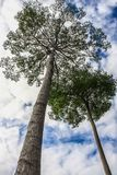 Άγρια λαστιχένια δέντρα στοκ εικόνα με δικαίωμα ελεύθερης χρήσης