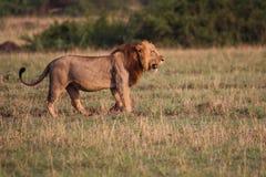 Άγρια λιοντάρια στη στέπα της Αφρικής Ουγκάντα στοκ εικόνες