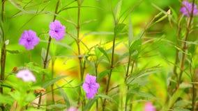 Άγρια λουλούδια κήπων ρίζας πυρετού ρίζας της Minnie που φιλτράρουν τη κάμερα απόθεμα βίντεο