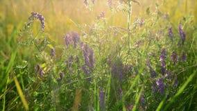 Άγρια λουλούδια και χορτάρια λιβαδιών στις ακτίνες της ρύθμισης του ήλιου απόθεμα βίντεο