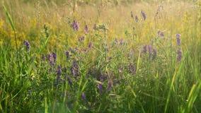 Άγρια λουλούδια και χορτάρια λιβαδιών στις ακτίνες της ρύθμισης του ήλιου φιλμ μικρού μήκους