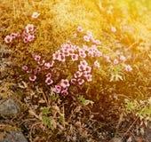 Άγρια λουλούδια που ανθίζουν ισλανδικό tundra στοκ φωτογραφία με δικαίωμα ελεύθερης χρήσης