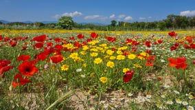 Άγρια λουλούδια της Ισπανίας σε έναν τομέα Girona Καταλωνία Στοκ Εικόνες