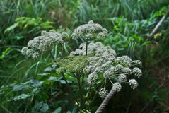 Άγρια λουλούδια της Angelica Στοκ Εικόνες