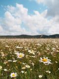 Άγρια λουλούδια τομέων camomiles ενάντια σε έναν νεφελώδη ουρανό στοκ εικόνες