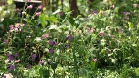 Άγρια λουλούδια Silene απόθεμα βίντεο