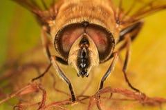 Άγρια μέλισσα σε ένα corncob στοκ εικόνες με δικαίωμα ελεύθερης χρήσης