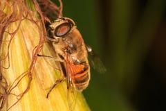 Άγρια μέλισσα σε ένα corncob στοκ φωτογραφία