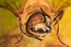 Άγρια μέλισσα σε ένα corncob στοκ εικόνες