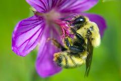 Μέλισσα Στοκ Εικόνα